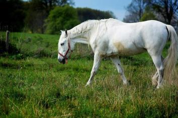 Pasme konj