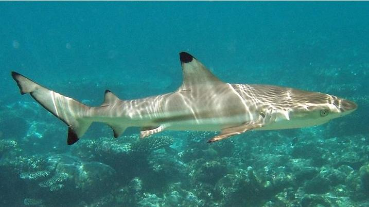 Blacktip reef shark