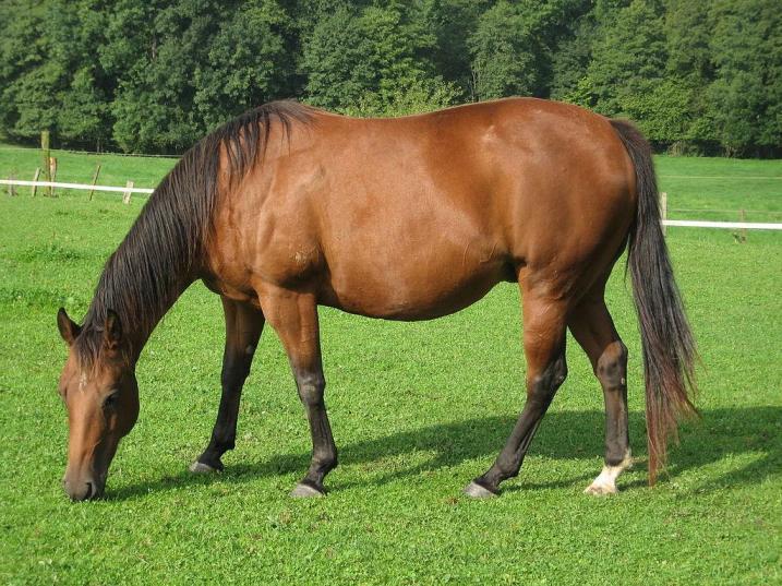 Ameriški konj - Quarter