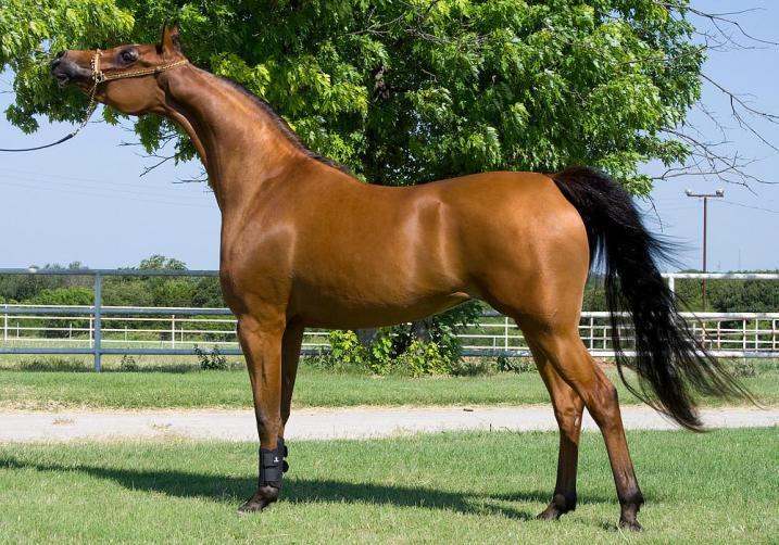 Arabski konj