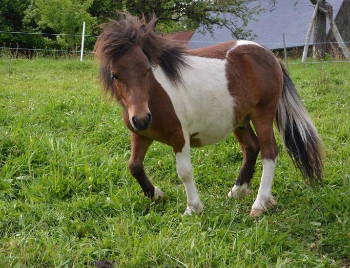 Šetlandski poni