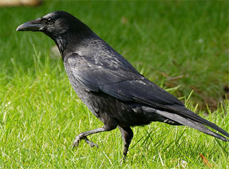 Črna vrana